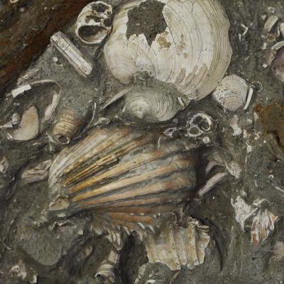 La malacofauna (che comprende le diverse specie di molluschi conservate nel sito) ha rivelato la presenza di circa 30 specie alcune delle quali molto ben conservati come questa Acanthocardia erinacea (in basso nell'immagine).