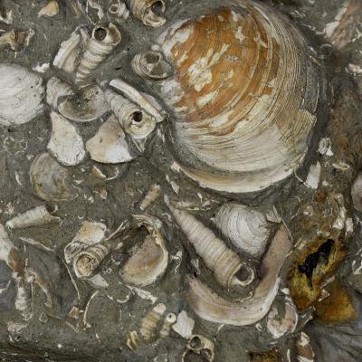 Le conchiglie forniscono informazioni decisive su profondità del fondale e temperatura dell'acqua.
