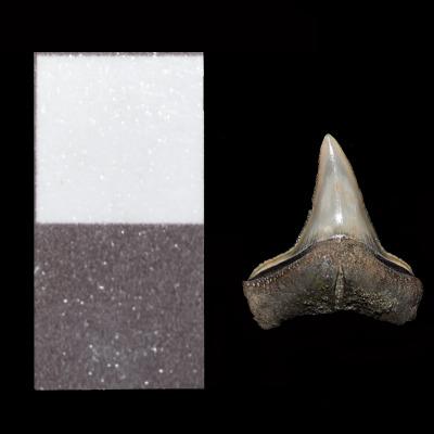 Tra i numerosi reperti scoperti nella ripulitura delle ossa, sono stati individuati anche 14 denti di squalo. Nella scala, 1 quadrato corrisponde a 1 cm.