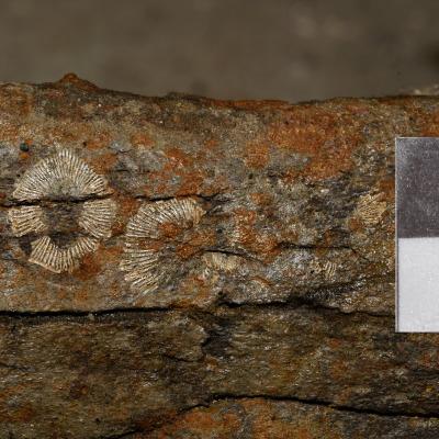 """Molte impronte di cirripedi sono state scoperte su diversi distretti scheletrici di """"Brunella"""" insieme con alcuni esemplari conservati anche tridimensionalmente. Nella scala, 1 quadrato corrisponde a 1 cm."""