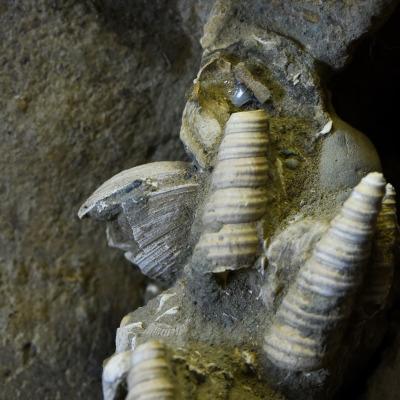 """Le relazioni tra i denti di squalo e le ossa fossili sono documentate dettagliatamente. La vicinanza tra i denti di squalo e le vertebre di """"Brunella"""" suggeriscono che squali di piccole dimensioni abbiano banchettato a spese della carcassa del cetaceo."""